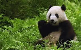 http://www.panpanbamboo.com/panda-eating-bamboo/