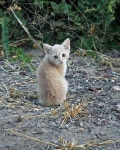 Kenya kittens. CC2.0 photo by Kerri Lee Smith.